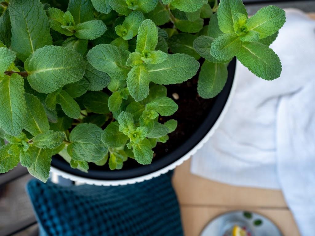 Minze: Tipps & Tricks für das beliebte Küchenkräuter #pflanzedesmonats