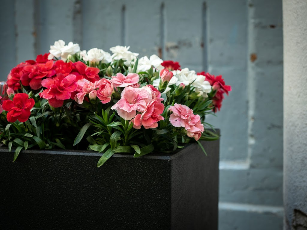 Nelke: Tipps & Tricks für die farbenfrohe Lieblingsblume #pflanzedesmonats