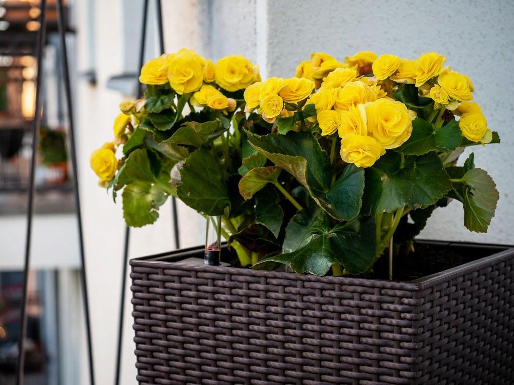 Begonie: Tipps & Tricks für die beliebte Balkonpflanze #pflanzedesmonats