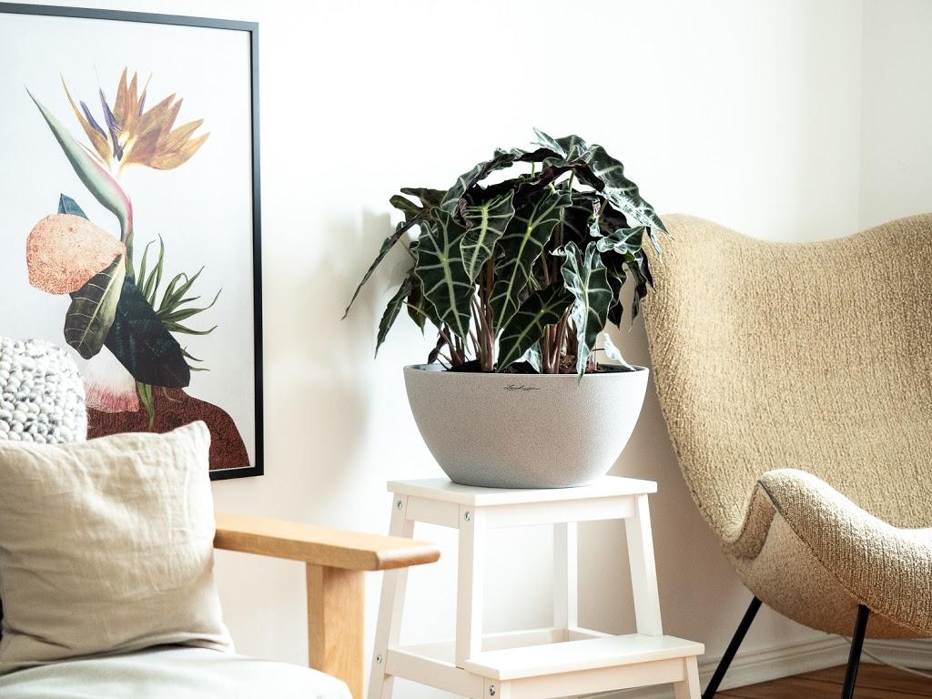 Alocasia: Tipps & Tricks für die tropische Zimmerpflanze #pflanzedesmonats
