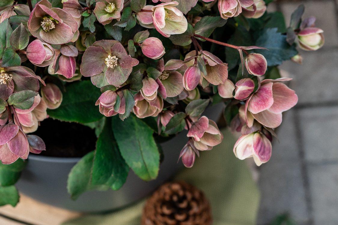 Die Christrose: Tipps & Tricks für die herbstliche Blütenpracht #pflanzedesmonats