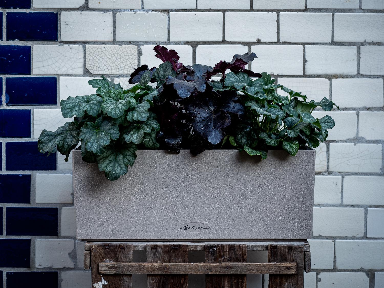 Heuchera: Tipps & Tricks für die Außenpflanze in Herbstfarben #pflanzedesmonats