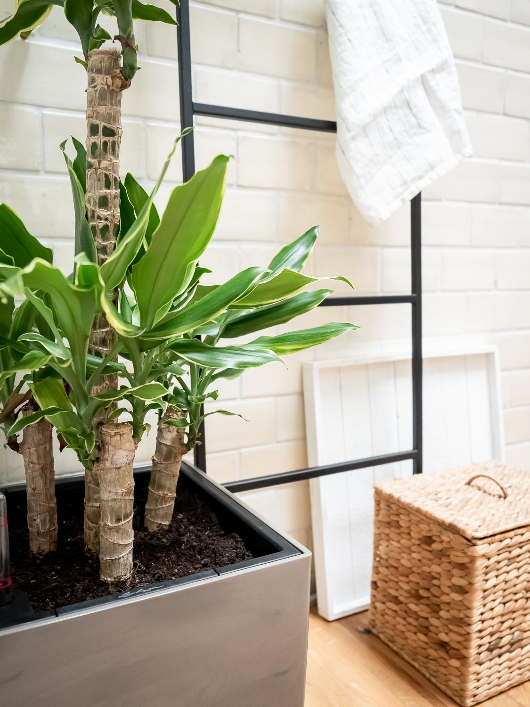 Die Dracaena - Tipps & Tricks für den beliebten Drachenbaum