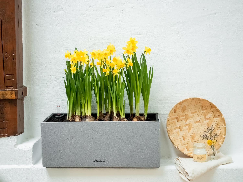 Die Narzisse - Tipps & Tricks für DEN Frühlingsboten #pflanzedesmonats
