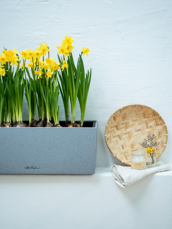 Narzisse - Tipps & Tricks für den Frühlingsboten