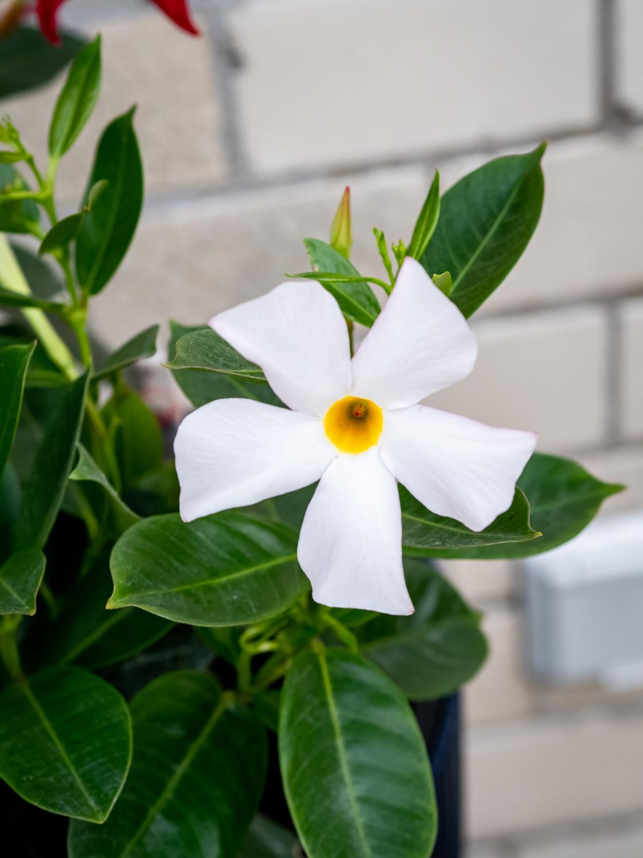 Dipladenia - Pflanze des Monats