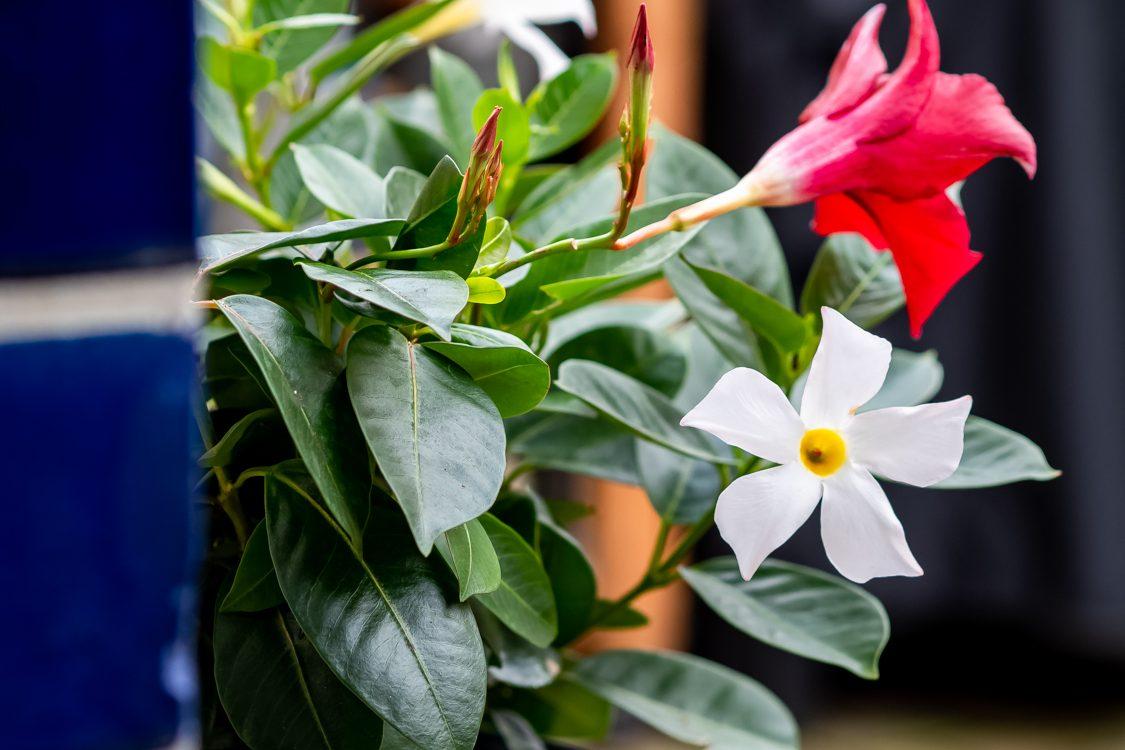 Dipladenia - Tipps & Tricks für die pflegeleichte Kletterpflanze