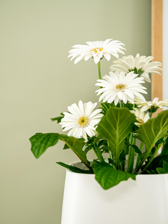 Die Gerbera - Beliebt als Schnittblume & Topfpflanze