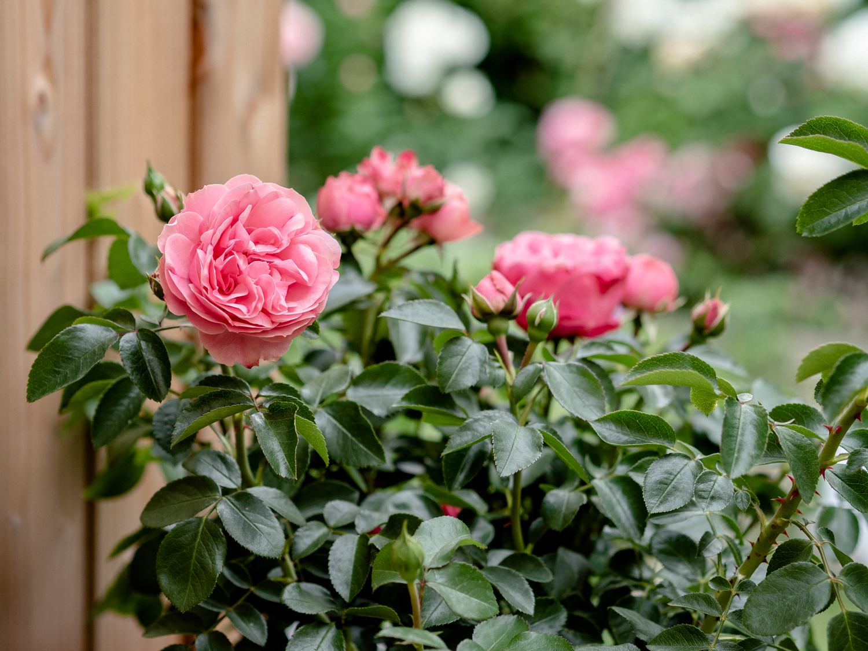 Die Rose: Tipps & Tricks für die Königin des Gartens