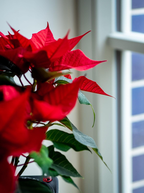 Weihnachtsstern - Tipps & Tricks